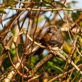 Gärdsmyg som sätta sig i en buske arkivfoton