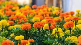 Gärten von Lantana camara Blumen Stockbild