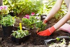 Gärtner, der Blumen im Garten, Abschluss herauf Foto pflanzt Stockfoto