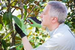 Gärtner, der denkt, um einen Baum zu beschneiden lizenzfreie stockfotografie