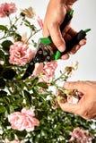 Gärtner, der für einen Rosenbusch im Sommer sich interessiert Stockfoto