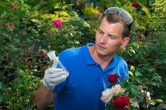 Gärtner, der Flasche mit Düngemittel auf dem Rosenhintergrund betrachtet Lizenzfreie Stockfotos
