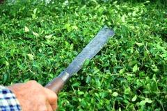 Gärtner, der Hokkien-Teezaun mit langem Messer schneidet lizenzfreie stockbilder