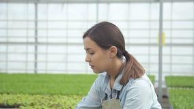 Gärtner hebt eine einzelne Patrone mit Sämlingen des Kopfsalates auf stock video