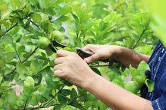 Gärtner im Zitronengarten Lizenzfreies Stockfoto
