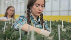Gärtner interessiert sich für Anlagen im Gewächshaus, suchen nach Tomatenblättern stock video footage
