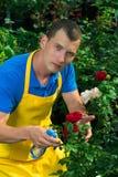 Gärtner interessiert sich für die Blumen einer roten und weißen Rose in einem grünen Garten Stockfoto