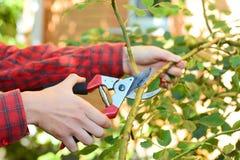 Gärtner mit Gartenbeschneidung scissors kletternde Rosen der Beschneidung stockfotos