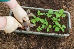 gärtner Pflanzen des Basilikums im Biogarten, des purpurroten Basilikums und der Schaufel in den weiblichen Händen Gartenarbeit i Lizenzfreie Stockbilder