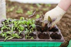 gärtner Pflanzen des Basilikums im Biogarten, des purpurroten Basilikums und der Schaufel in den weiblichen Händen Gartenarbeit i Lizenzfreies Stockbild