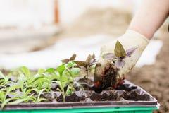 gärtner Pflanzen des Basilikums im Biogarten, des purpurroten Basilikums und der Schaufel in den weiblichen Händen Gartenarbeit i Lizenzfreies Stockfoto