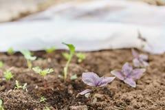 gärtner Pflanzen des Basilikums im Biogarten, des purpurroten Basilikums und der Schaufel in den weiblichen Händen Gartenarbeit i Stockbilder