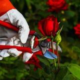 Gärtner ` s Hand, die eine Rose abschneidet Lizenzfreies Stockbild