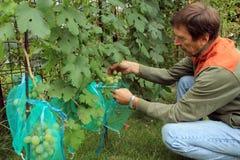 Gärtner sitzt und umfasst grüne Traubenbündel in den schützenden Taschen Lizenzfreie Stockbilder
