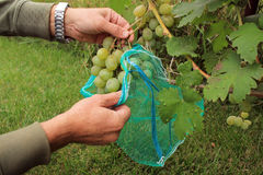 Gärtner umfasst grüne Traubenbündel in den schützenden Taschen zum protec Stockbilder