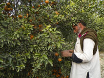 Gärtner und Orangen Stockfotos