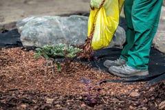 Gärtner verschüttet Laubdecke unter Busch Lizenzfreies Stockbild