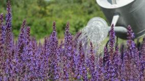 Gärtner Watering Purple Flowers mit Gießkanne stock video footage