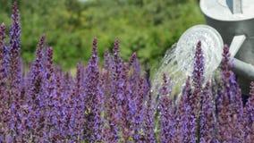 Gärtner Watering Purple Flowers mit Gießkanne stock footage