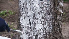 Gärtner Whitewash Tree Trunk mit Kreide im Garten, Baum interessieren sich im Frühjahr Langsame Bewegung stock video