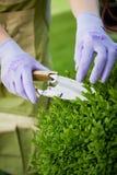 Gärtnerbeschneidung eine Liguster Hecke oder ein Topiary lizenzfreie stockfotografie