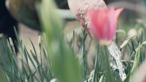 Gärtnerfrau, die Bewässerungstopf für strömende blühende Tulpe des Wassers im Garten verwendet stock footage