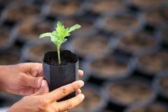 Gärtnerhand, die jungen Sämling der Anlage mit unscharfem schwarzem Behälter auf dem Hintergrund für Landwirtschaft, Gartenarbeit stockbild