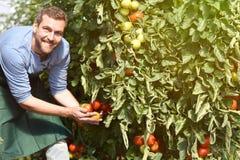Gärtnerlandwirt arbeitet in den Gewächshäusern, die Tomaten anbauen lizenzfreie stockfotografie