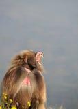 Gäspa baboon Arkivfoton