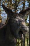 Gäspa för åsna Arkivfoto
