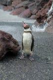 gäspa för jackasspingvin Arkivfoto