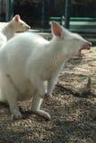 Gäspa för känguru Arkivfoton