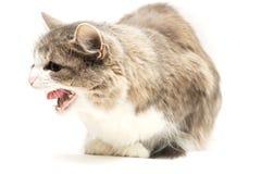 gäspa för katt Arkivfoto