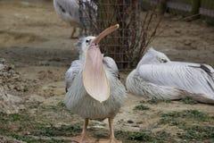 Gäspa för pelikan Royaltyfri Bild