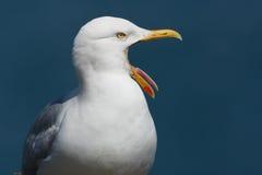 gäspa för seagull Arkivbild
