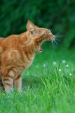 Gäspa Ginger Cat Arkivfoto