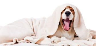 Gäspa hunden på vit Arkivbilder