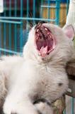 Gäspa katten Fotografering för Bildbyråer