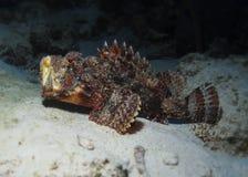 Gäspa scorpionfishen Arkivfoto