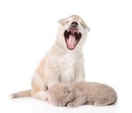 Gäspa valpen och att sova katten bakgrund isolerad white arkivbild