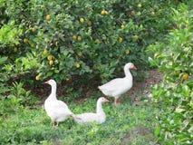 Gäss i Lemon Grove Fotografering för Bildbyråer