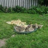 gäss och änder som bor i det löst Royaltyfri Fotografi