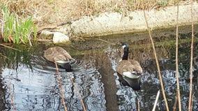 Gäss på dammet på zoo Royaltyfria Bilder