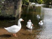 Gäss på en flod under bron royaltyfri bild