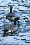 Gäss på en sjö Royaltyfria Foton