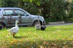 Gäss på gräsmattan Gäss och bil Arkivbild
