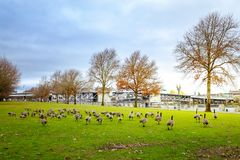 Gäss på Tom McCall Waterfront Park Royaltyfria Bilder