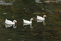 Gäss som simmar i ett damm Arkivfoton