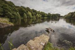 Gäss som vilar på sjön på Nostell priorskloster Royaltyfri Fotografi