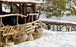 Gäss som vilar på snow Arkivbilder